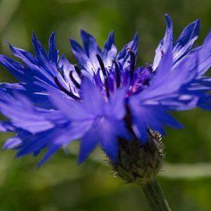 Apa florala de albastrele
