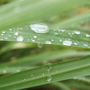 Ulei-esential-de-lemongrass